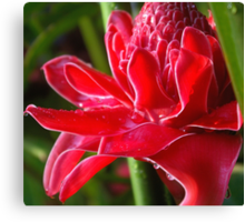 Glistening (Exotic Red Torch Ginger)  Canvas Print