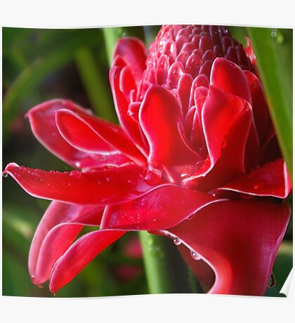 Glistening (Exotic Red Torch Ginger)  Poster