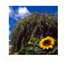 Sunflower, Royal Tasmanian Botanical Gardens Art Print