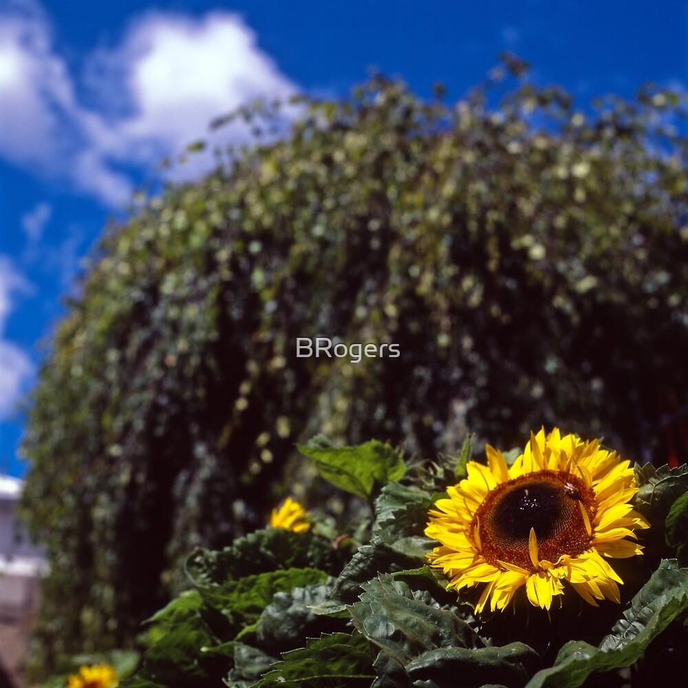 Sunflower, Royal Tasmanian Botanical Gardens by Brett Rogers