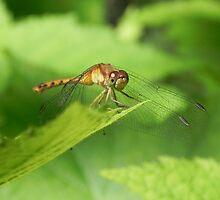 Dragonfly by Martha Medford