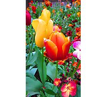 SOLD - TWO TULIPS Photographic Print
