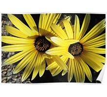 Sunlit Yellow African Daisies Poster