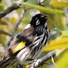 New Holland honeyeater (Phylidonyris novaehollandiae) by Marilyn Harris