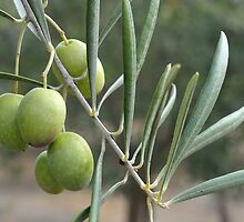 An Olive Branch by metriognome