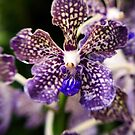 Purple Orchid by Kasia-D