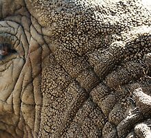 African elephant eye - 2011 by Gwenn Seemel