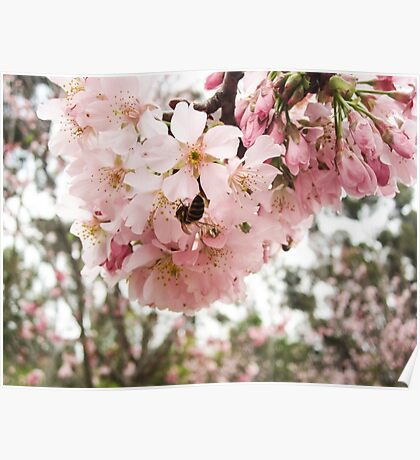 Cherry Blosssoms and the Bee Poster