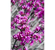 Buds of Fuscia Photographic Print