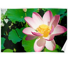 Water Lilly in Pink Poster