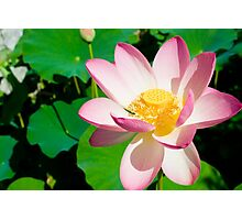 Water Lilly in Pink Photographic Print