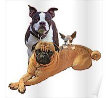 Pug Boston terrier cat Poster