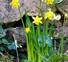 Daffodils by Johindes