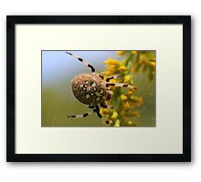 Shamrock Orbweaver on Goldenrod Framed Print