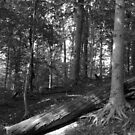 In the Woods B&W by elasita