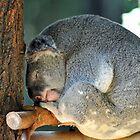 Koala At The Australia Zoo. Beerwah, Queensland, Australia. by Ralph de Zilva