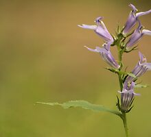 Lobelia sp. by elasita