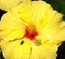 Fly On Hibiscus by Francis Drake
