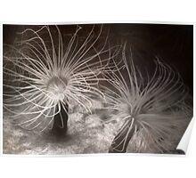 Sea Anemones Poster