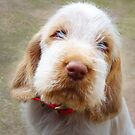 Orange and White Italian Spinone Puppy Dog by heidiannemorris