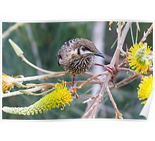 Wattle Bird and Yellow Grevillea Poster
