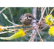 Wattle Bird and Yellow Grevillea Photographic Print