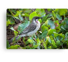 Red Wattle Bird and Ground Cover Canvas Print