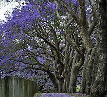 jacarandas in bloom ii by gary roberts