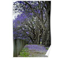 jacarandas in bloom ii Poster