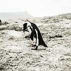 Penguins of Simons Town (1) by Tim Cowley