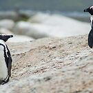 Penguins of Simons Town (4) by Tim Cowley