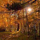 Autumn Aspens by K D Graves Photography