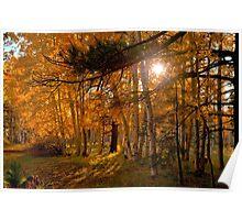Autumn Aspens Poster