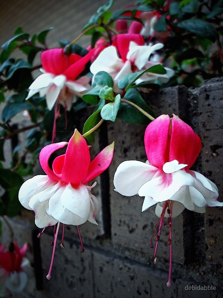 White and Pink Fuchsia by debidabble