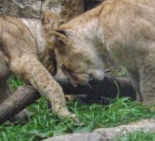 Lion Cubs Sticker