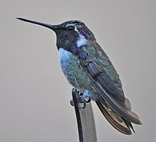 WHITE EARED HUMMER by JAYMILO
