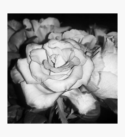 Black and White Open Rose Photographic Print