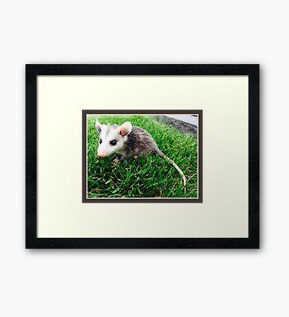 """Tremble"" the Baby Opossum  Framed Print"