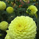 Yellow balls - a lovely dahlia by bubblehex08