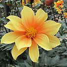 Yellow dahlia with warm heart by bubblehex08