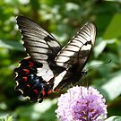 Orchard Swallowtail by Trish Meyer