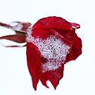 Winter Rose by Debbie Oppermann