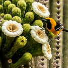 Hooded Oriole on a Saguaro Blossom by Linda Gregory