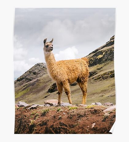 A Llama in the Andes outside of Cusco, Peru Poster