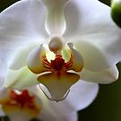 White orchid by Jeannine de Wet