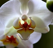 White orchid by Jeannine de Wet