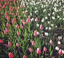 Tulips, Madison Square Park by Lagoldberg28