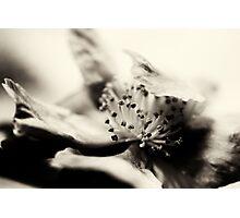 Camellia suggestion - Monochrome Photographic Print