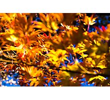 Japanese Maples Photographic Print