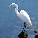 Greater Egret by Jacquelyne Drainville